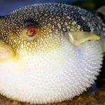 ikan buntal - Publiknews