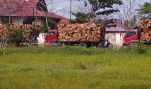 Sempat Ditahan, Tiga Unit Truk Pengangkut Kayu Akasia Sudah Dilepaskan